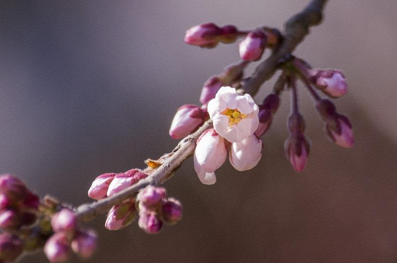 奈良観光 氷室神社の桜が開花しました