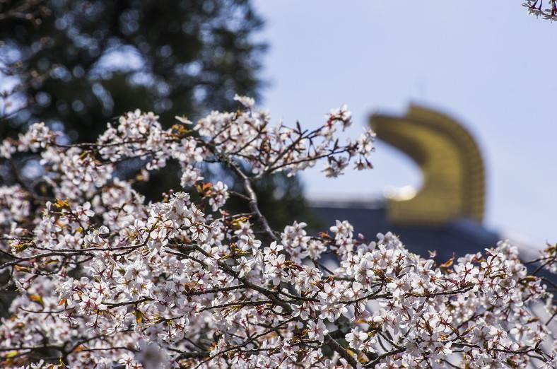 奈良の桜の開花情報