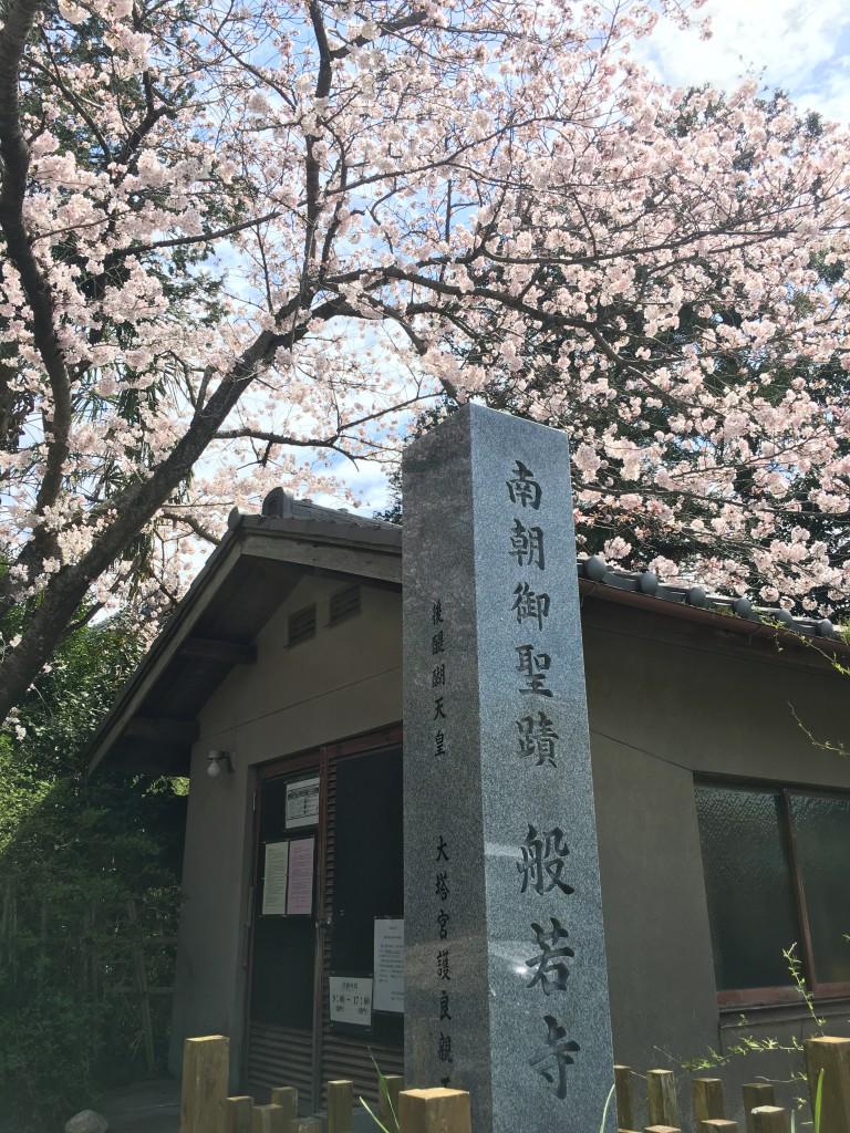 コスモスの名所般若寺に桜を見に行きました。