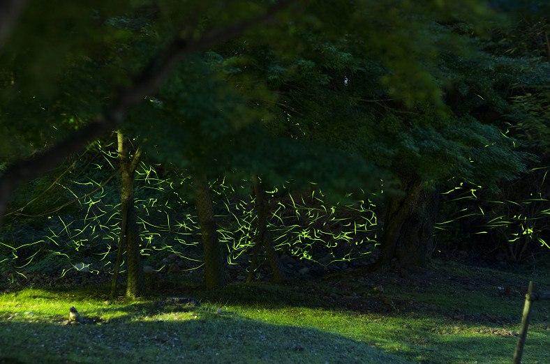 奈良市内でも見ることができる東大寺の大仏蛍を紹介します